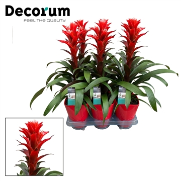 Guzmania Chic Luxe (Decorum)