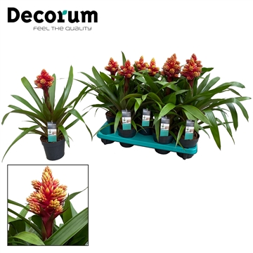 Guzmania Brush Rood Geel Vertakt (Decorum)