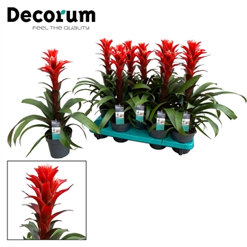 Guzmania Chic (Decorum)
