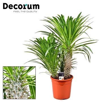 Pachypodium toef (Decorum)