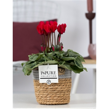Cyclamen SS Picasso Rood S. Basket PC