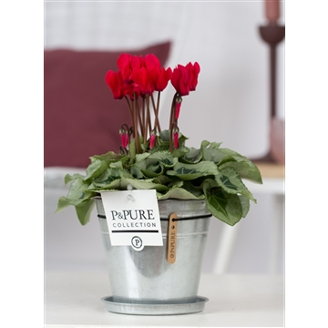 Cyclamen SS Picasso Rood Zinc Louise PC