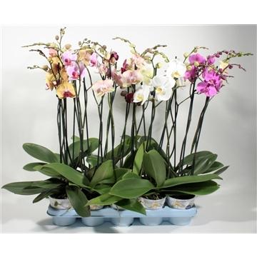 Phalaenopsis 2 tak 7 kleuren mix (Decorum)