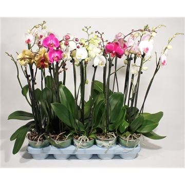 Phalaenopsis 3 tak mix kort (Decorum)