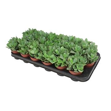 Crassula Arborescens Undulatifolia - Basic