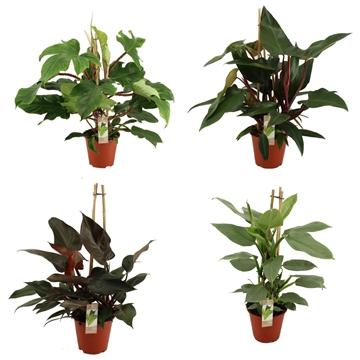 Philodendron Exclusieve Piramide Mix 19 cm