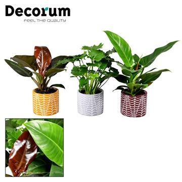 Collectie Glam Empire - Philodendron mix in pot Croco (Decorum)