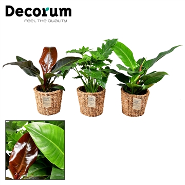 Collectie Stone - Philodendron in mand Amber (Decorum)