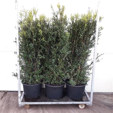 Buxus Sempervirens 120-140cm struik