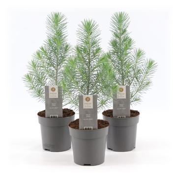 Pinus pinea 'Silver Crest' p10,5
