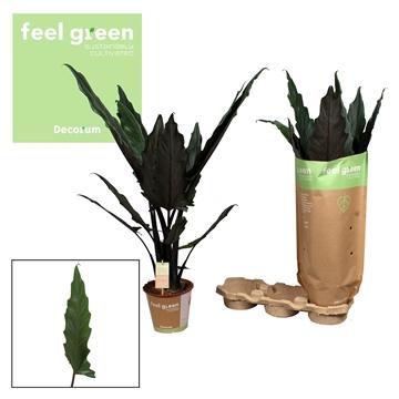 Alocasia Lauterbachiana Feel Green