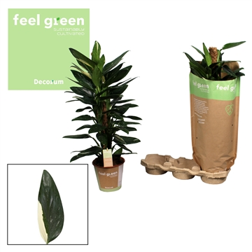 Philodendron Cobra 80mos Feel Green