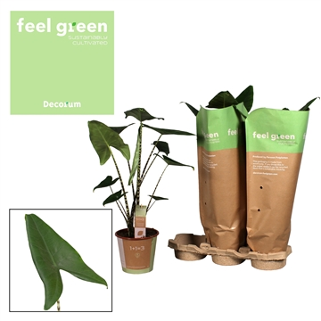 Alocasia Zebrina Feel Green