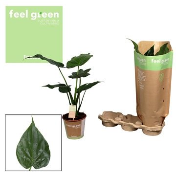 Alocasia Cucullata Feel Green