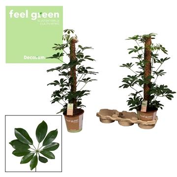 Schefflera Arboricola Compacta 80mos Feel Green