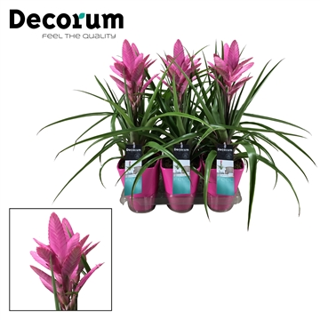 Tillandsia Amira Luxe (Decorum)