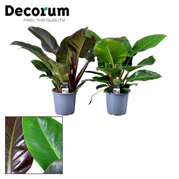 Philodendron gemengd 2 soorten