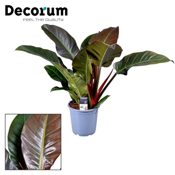 Philodendron Imperial Red (Decorum)