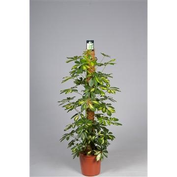 Schefflera Gold Capella 120mos