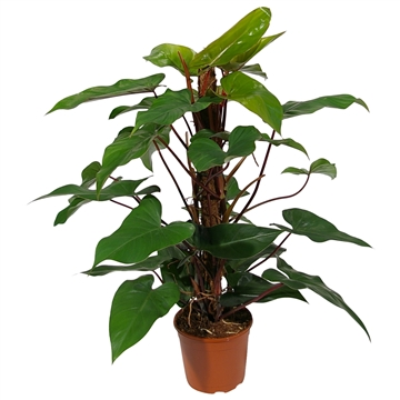 Philodendron Red Emerald 80mos
