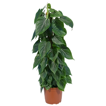 Philodendron Scandens 80mos