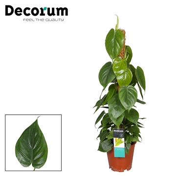 Philodendron Scandens 80