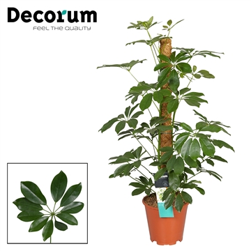 Schefflera Arboricola Compacta 80mos