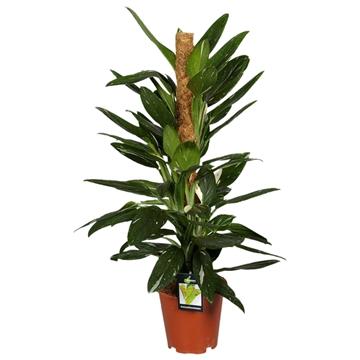 Philodendron Cobra 80mos