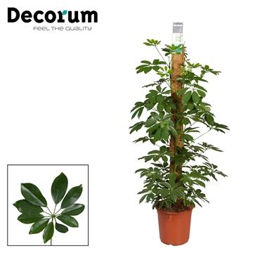 Schefflera Arboricola Compacta 120mos