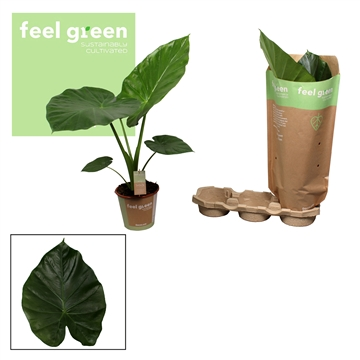 Alocasia Macorrhiza 19 Feel Green