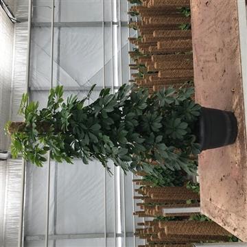 Schefflera Arboricola Compacta 150mos