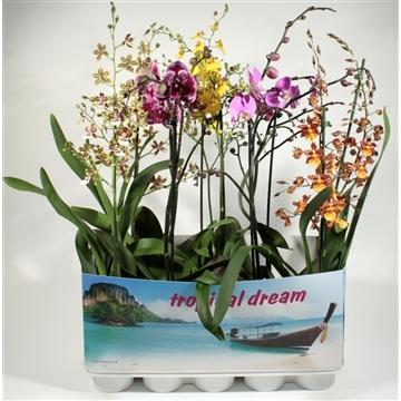 Orchideeen 1 tak duomix met Phalaenopsis