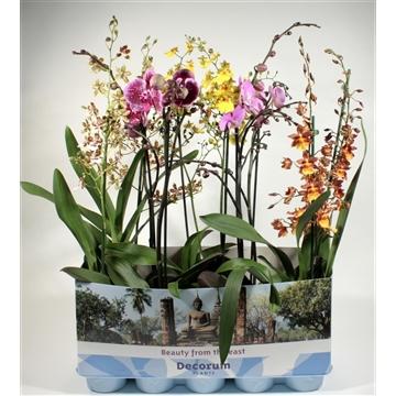 Orchideeen 1 tak duomix met Phalaenopsis (Decorum)