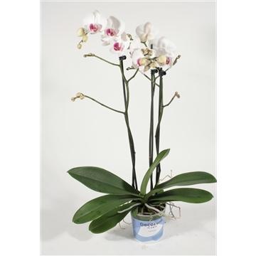 Phalaenopsis 3 tak Passion (Decorum)