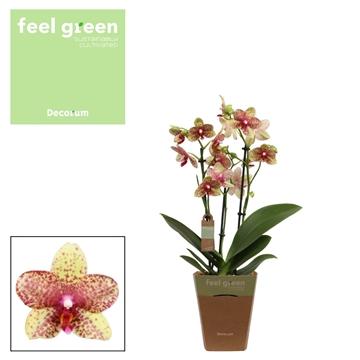 Phal. Grosseto - 3 spike 12cm Feel Green