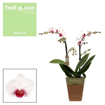 Phal. Safe Haven - 2 spike 12cm Feel Green