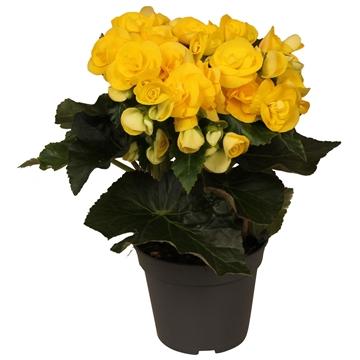 Begonia ''rebecca'' geel rijp