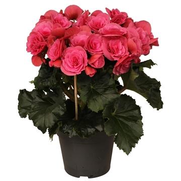 Begonia ''berseba'' paars rijp