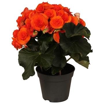 Begonia ''reina'' oranje rijp