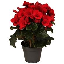 Begonia ''baladin'' rood rijp