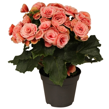 Begonia ''borias'' rijp