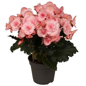 Begonia ''joy pink''  licht rose rijp