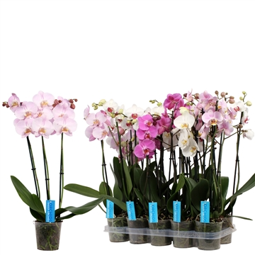 Phal. White Purple Pink mix - 3 spike 12cm Better Label