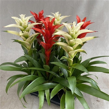 Guzmania RED/WHITE Maxima mix (Decorum)