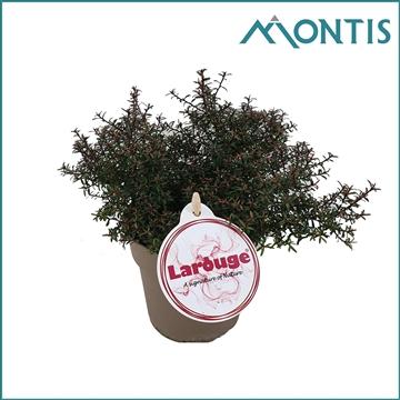 Leptospermum Larouge