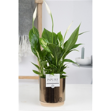 Spathiphyllum in Pure Gold Bronze