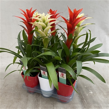 Guzmania RED/WHITE Luxe Keramiek (Decorum)