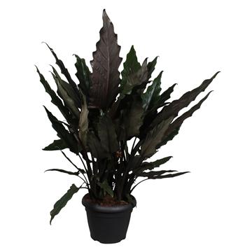 Alocasia Lauterbachiana Decopot