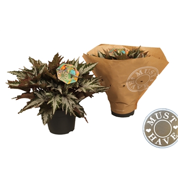 "Bladbegonia ""sumatra green'' 'must have'"