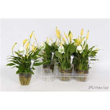 Spathiphyllum 10,5 cm Rondo Make Upz